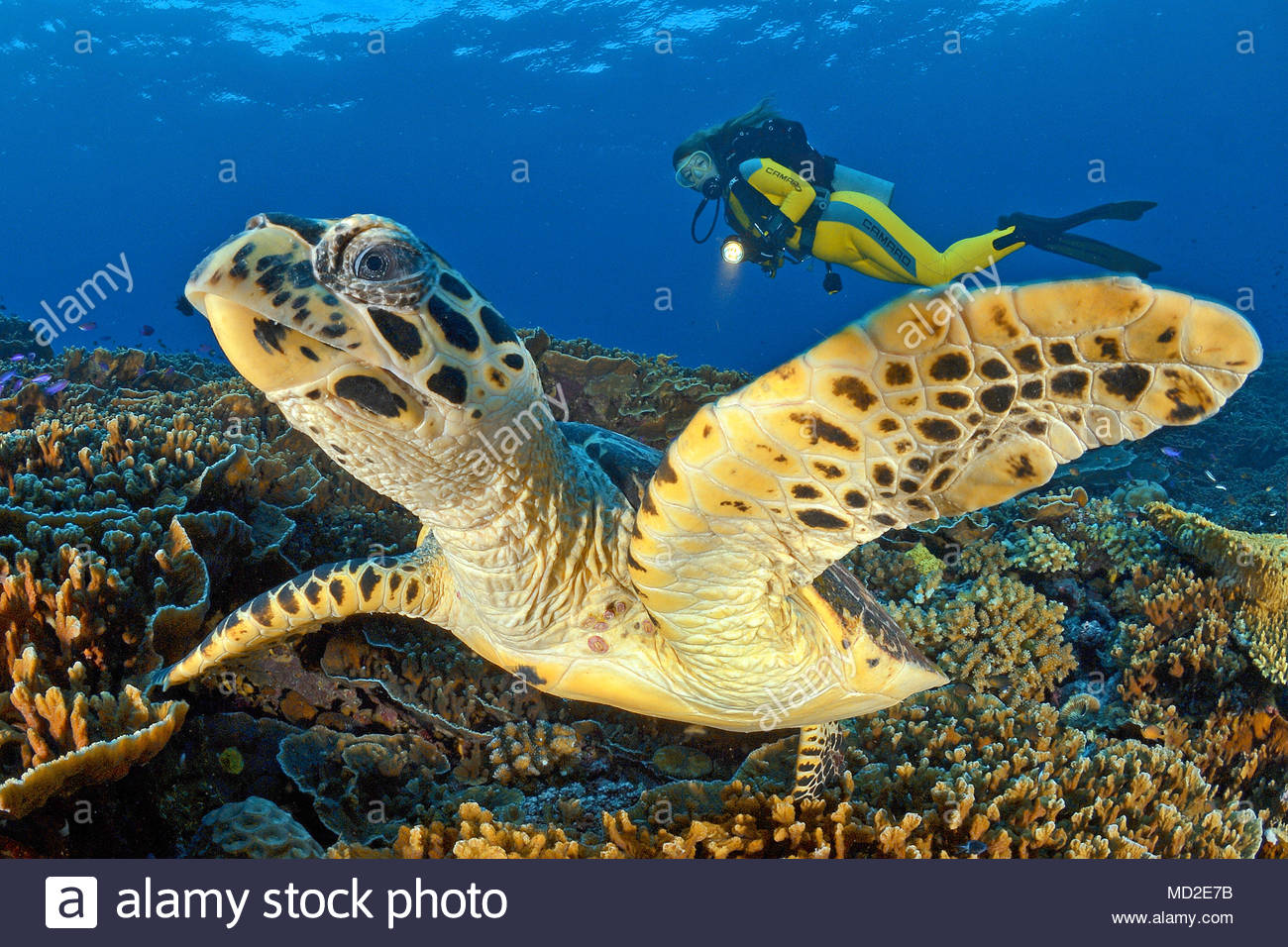 Scuba diver and a Green sea turtle (Chelonia mydas), Ari Atoll, Maldives islands - Stock Image
