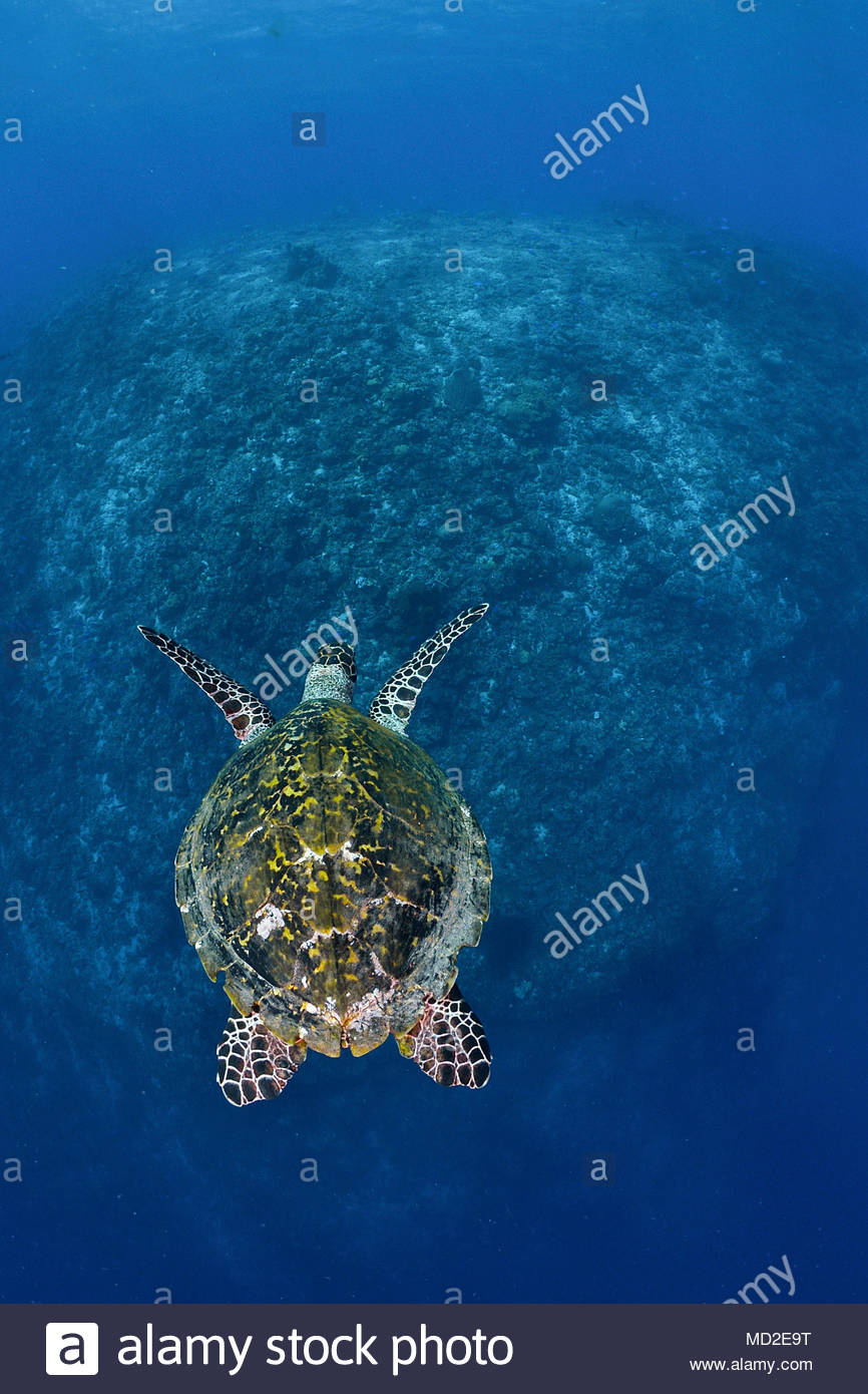 Green sea turtle (Chelonia mydas) in blue water, Ari Atoll, Maldives islands - Stock Image