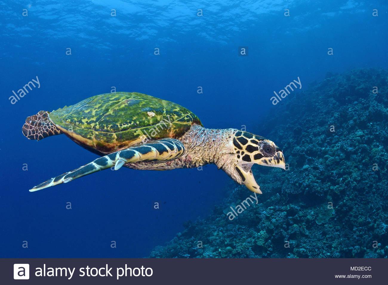 Green sea turtle (Chelonia mydas) in blue water, Ari Atoll, Maldives islands - Stock Image