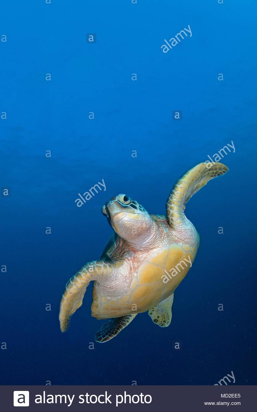 Green sea turtle (Chelonia mydas) in blue water, Ari Atoll, Maldives islands Stock Photo