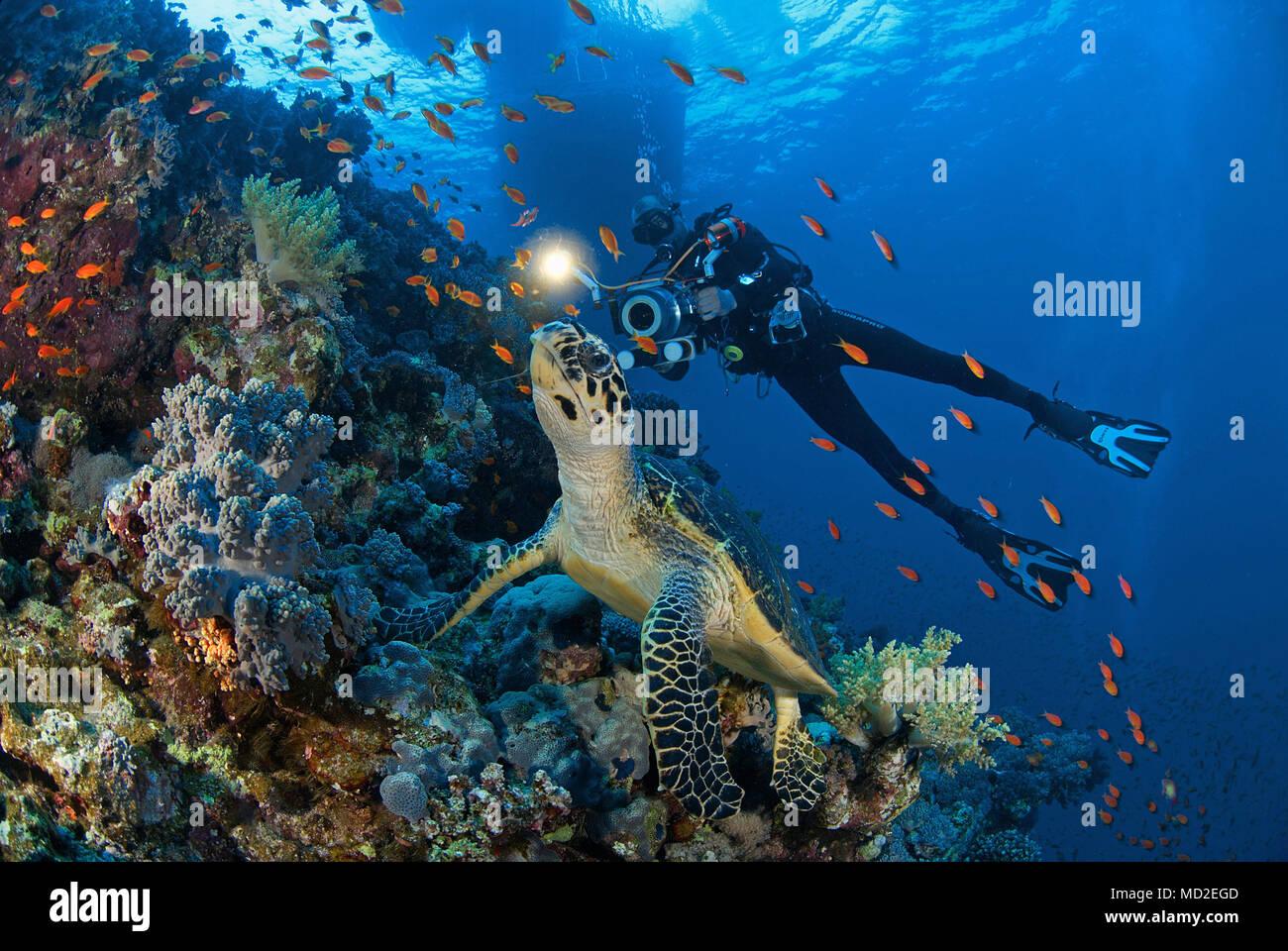 Scuba diver and a Green sea turtle (Chelonia mydas) at a coral reef, Borneo, Malaysia Stock Photo