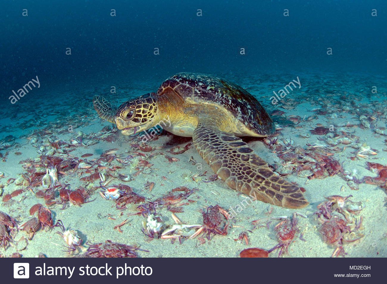 Green sea turtle (Chelonia mydas) eating Long-eyed Swimming Crab (Podophthalmus nacreus) which died after egg deposition, Cocos Island, Costa Rica - Stock Image