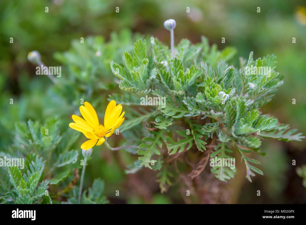 Top View Of Euryops Chrysanthemoides African Bush Daisy Nine
