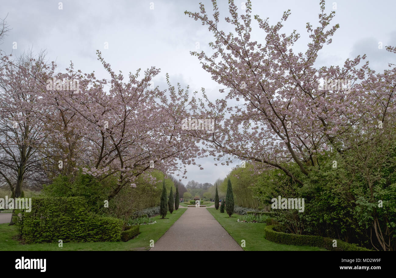 Avenue of cherry trees in blossom at Regent's Park, London. Spring 2018. - Stock Image
