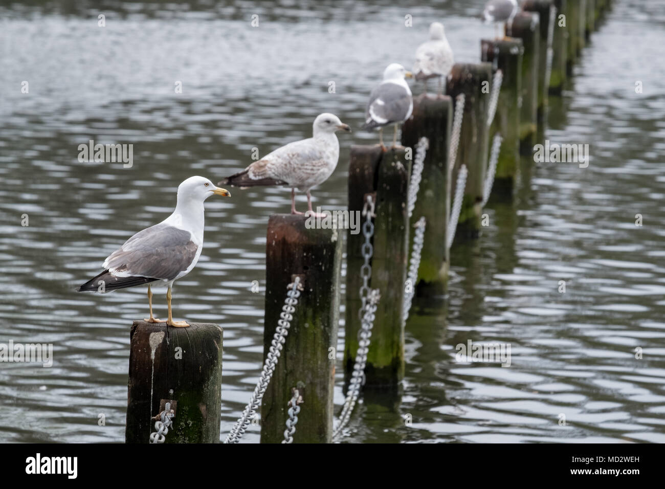 Birds perching on wooden posts in lake at Regent's Park in London - Stock Image
