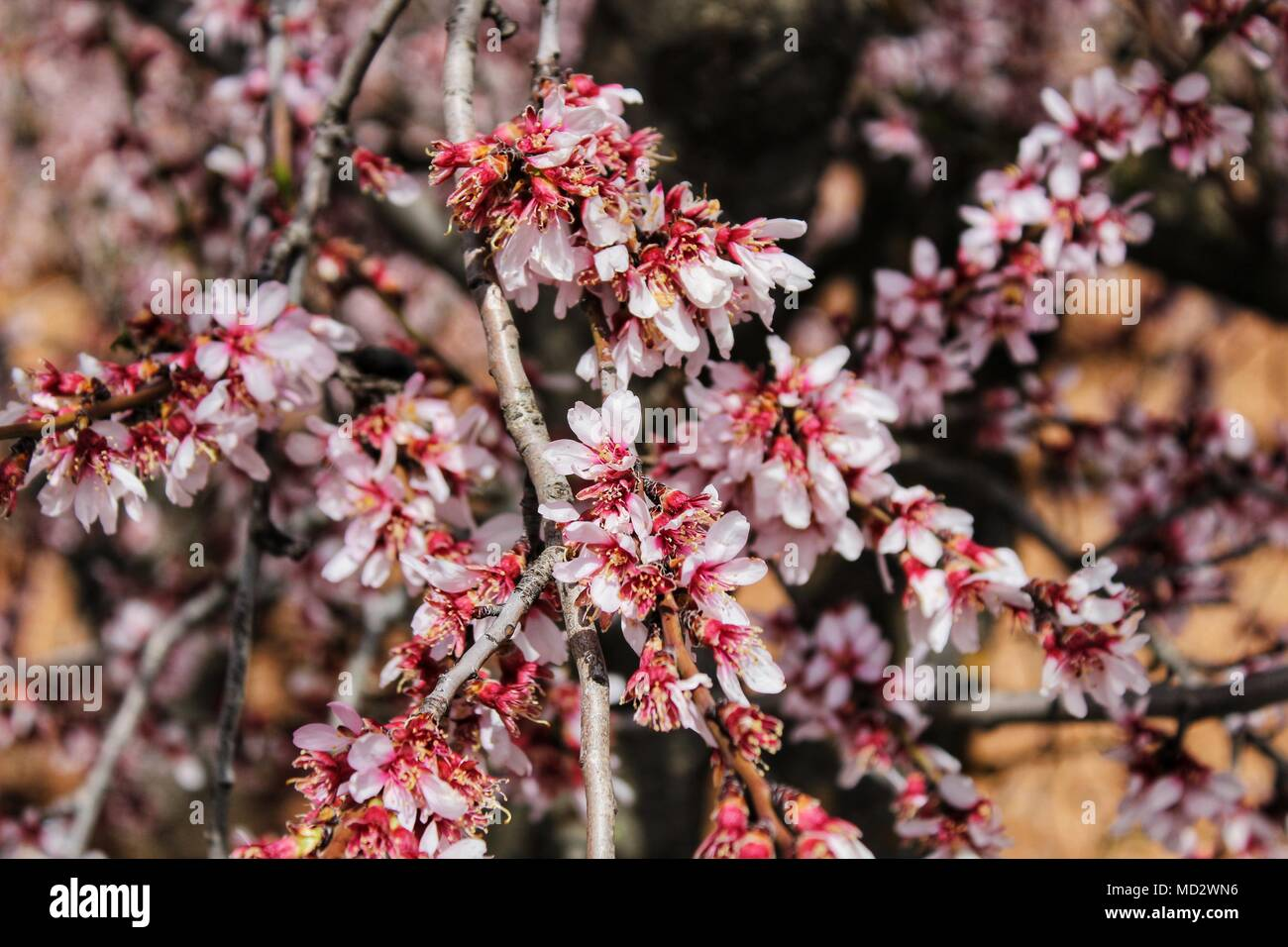 Pink Almond Tree Flowers In Bloom Under Blue Sky Stock Photo