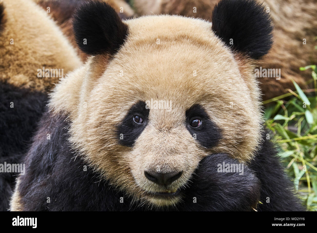 China, Sichuan province, Chengdu, Chengdu giant panda breeding research center - Stock Image