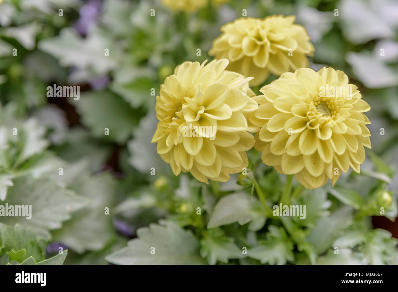 Top View Of Dahlia Fresh Flowers Blooming In Natural Garden For Sale