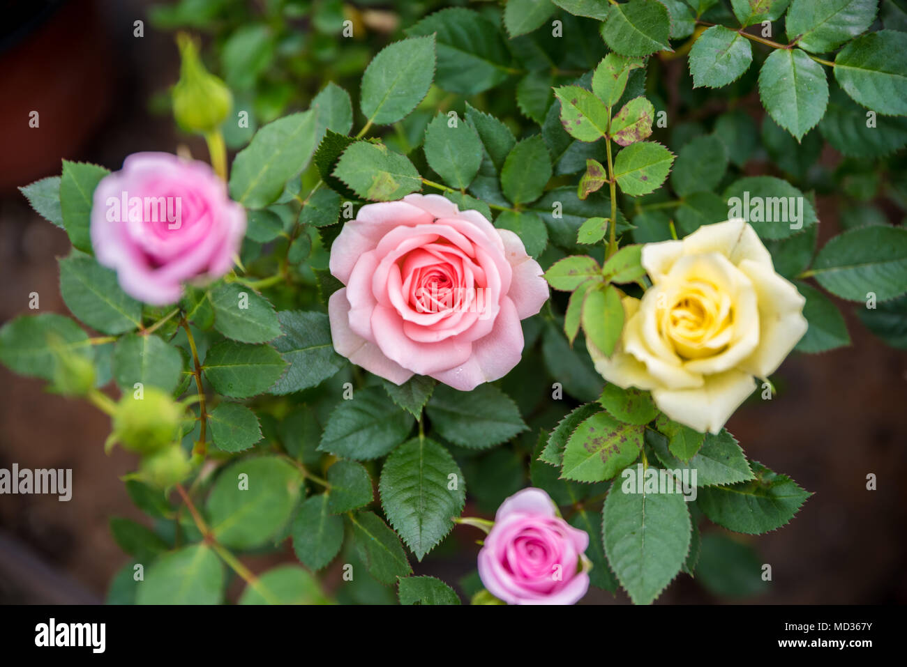 Different Color Roses Stock Photos & Different Color Roses Stock ...