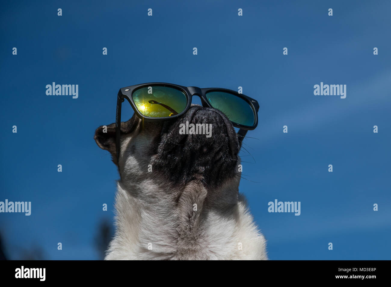 Mousehole, Cornwall, UK. 18th April 2018. UK Weather. Titan the Pug puppy out in his back garden in the bright sunshine on the hottest day of the year so far. Credit: Simon Maycock/Alamy Live News - Stock Image