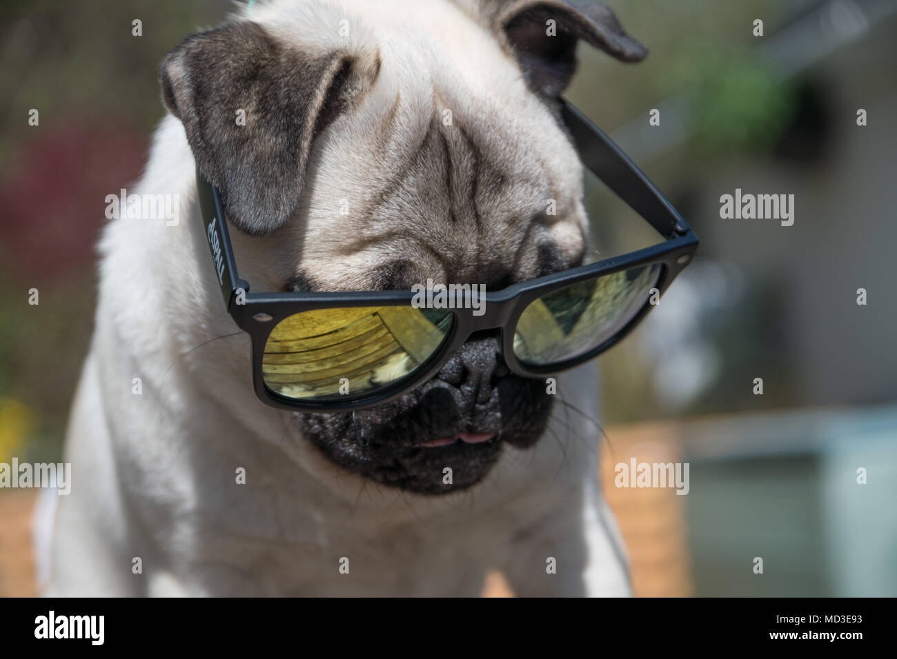 Mousehole, Cornwall, UK. 18th April 2018. UK Weather. Titan the Pug puppy out in his back garden in the bright sunshine on the hottest day of the year so far. Credit: Simon Maycock/Alamy Live News Stock Photo
