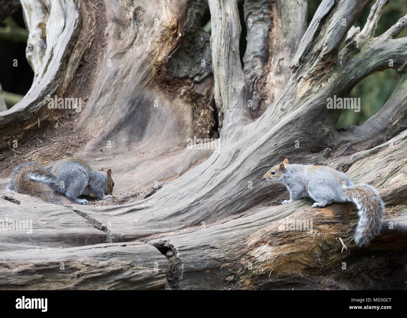 Multiple tree Squirrel on a fallen tree / Sciuridae at Clumber Park, Worksop, Nottinghamshire, UK - Stock Image