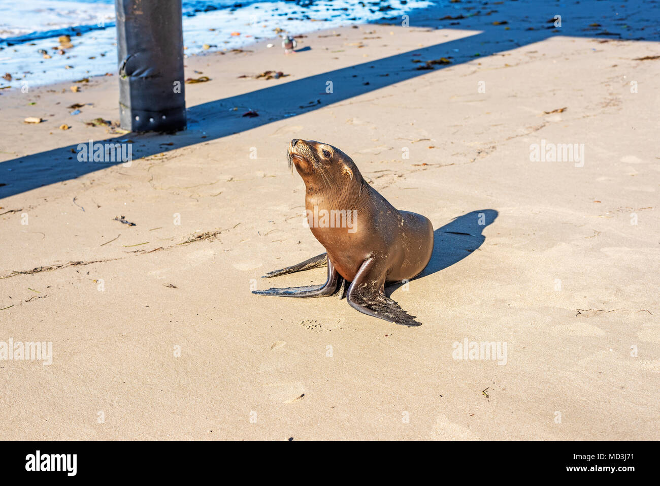 Baby Seal Separated From Mother Arrives On Goleta State Beach, United States Credit: RJ Styles/Alamy Live News - Stock Image
