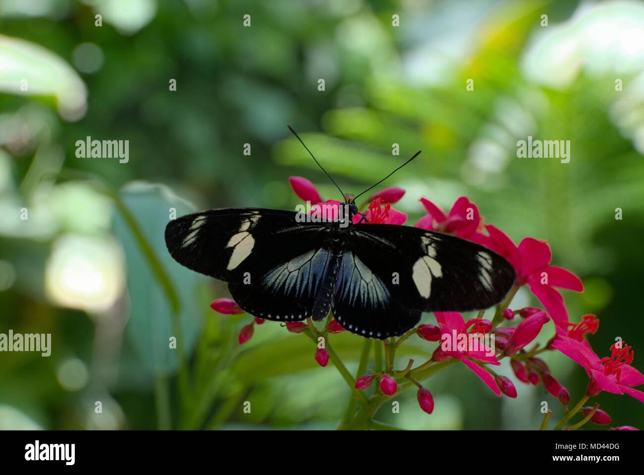 Laparus doris Stock Photo
