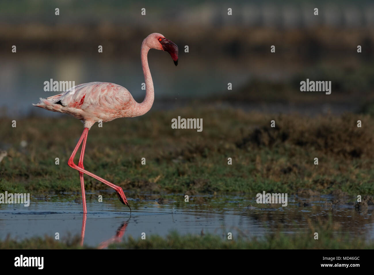 Lesser Flamingo (Phoenicoparrus minor). - Stock Image