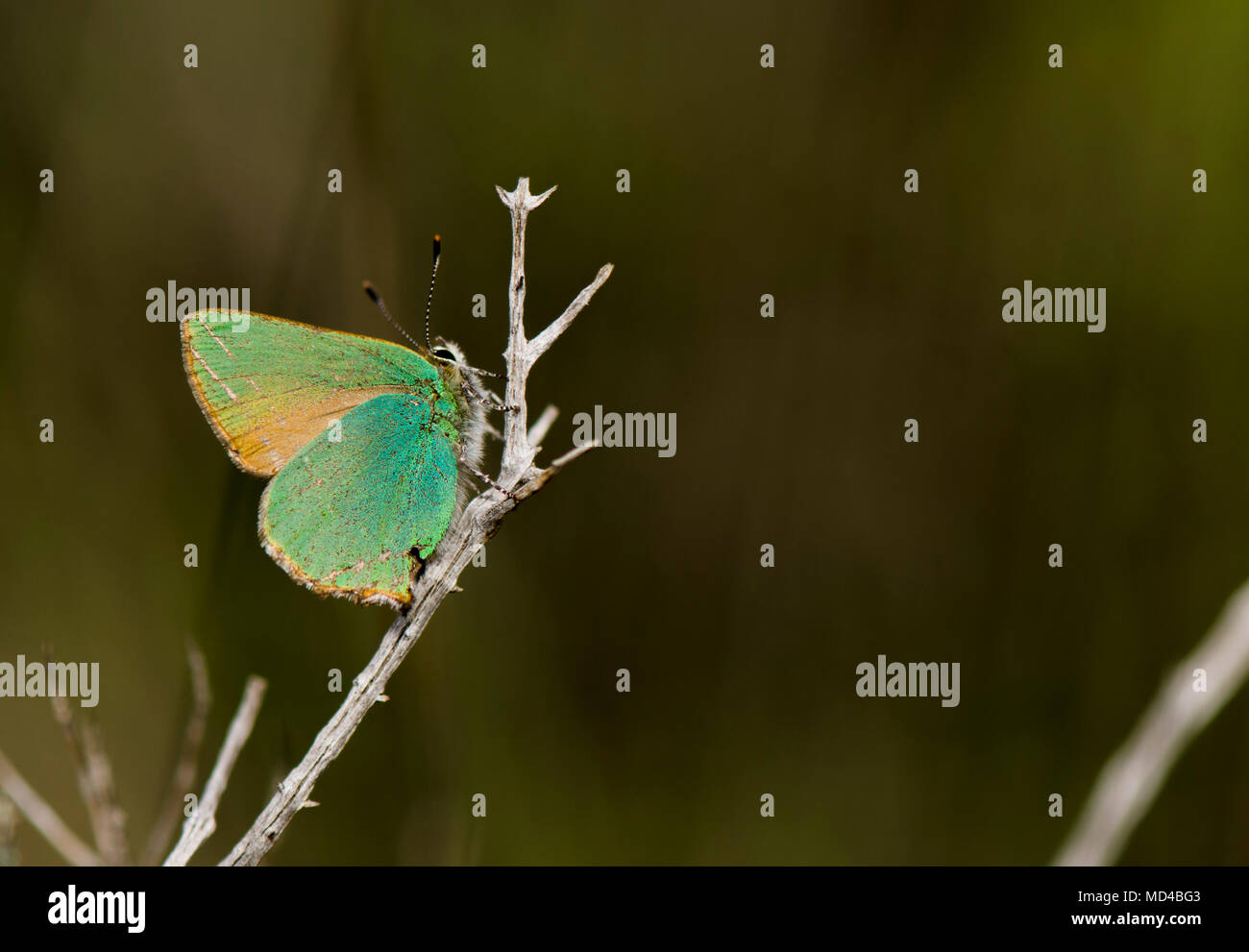 Green hairstreak, Callophrys rubi, butterfly resting, Andalusia, Spain. Stock Photo