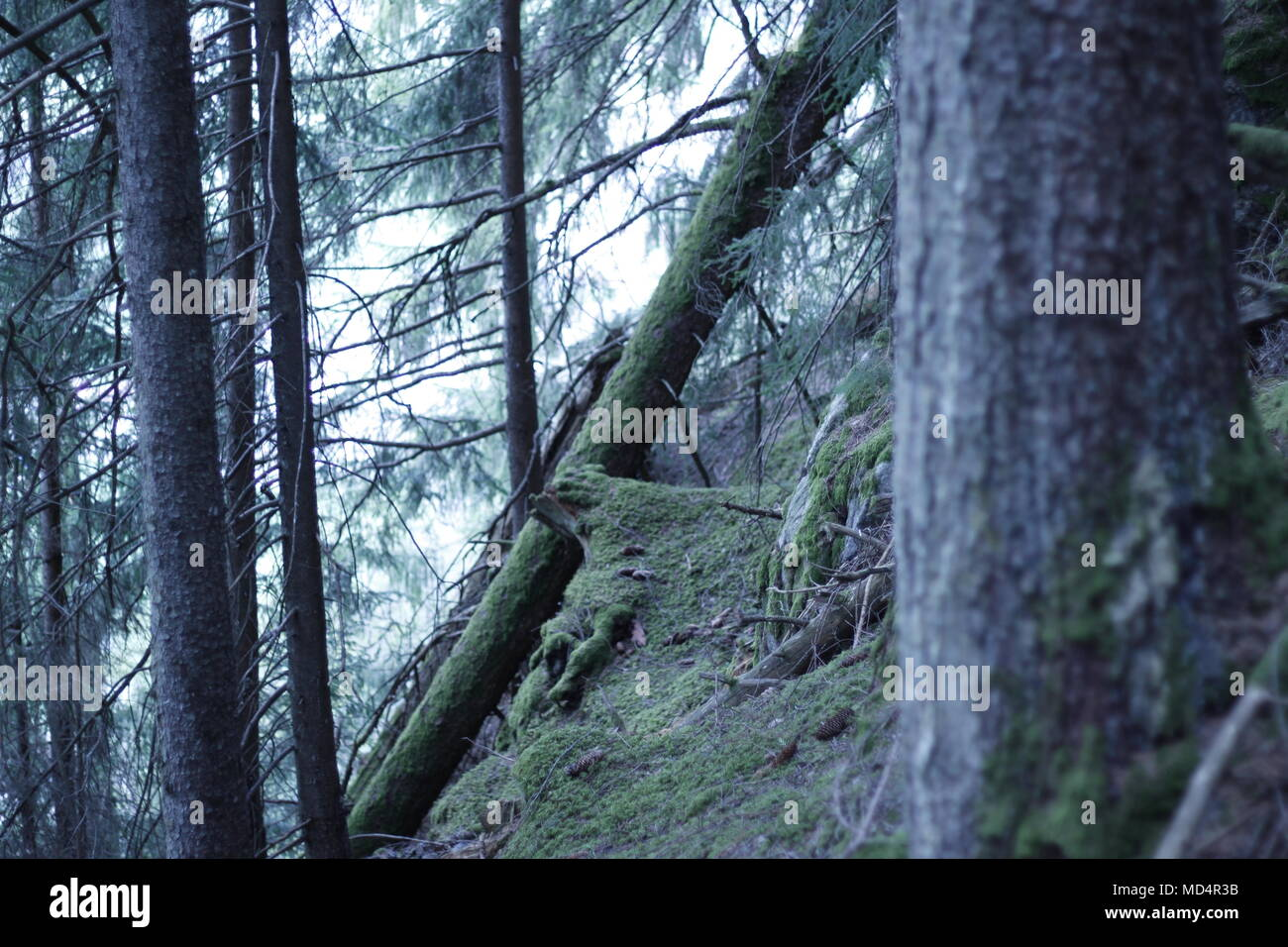Hiking in Mayrhofen, Austria, forest with much moss and pines. Very green and beautiful forest enviroment. - Stock Image