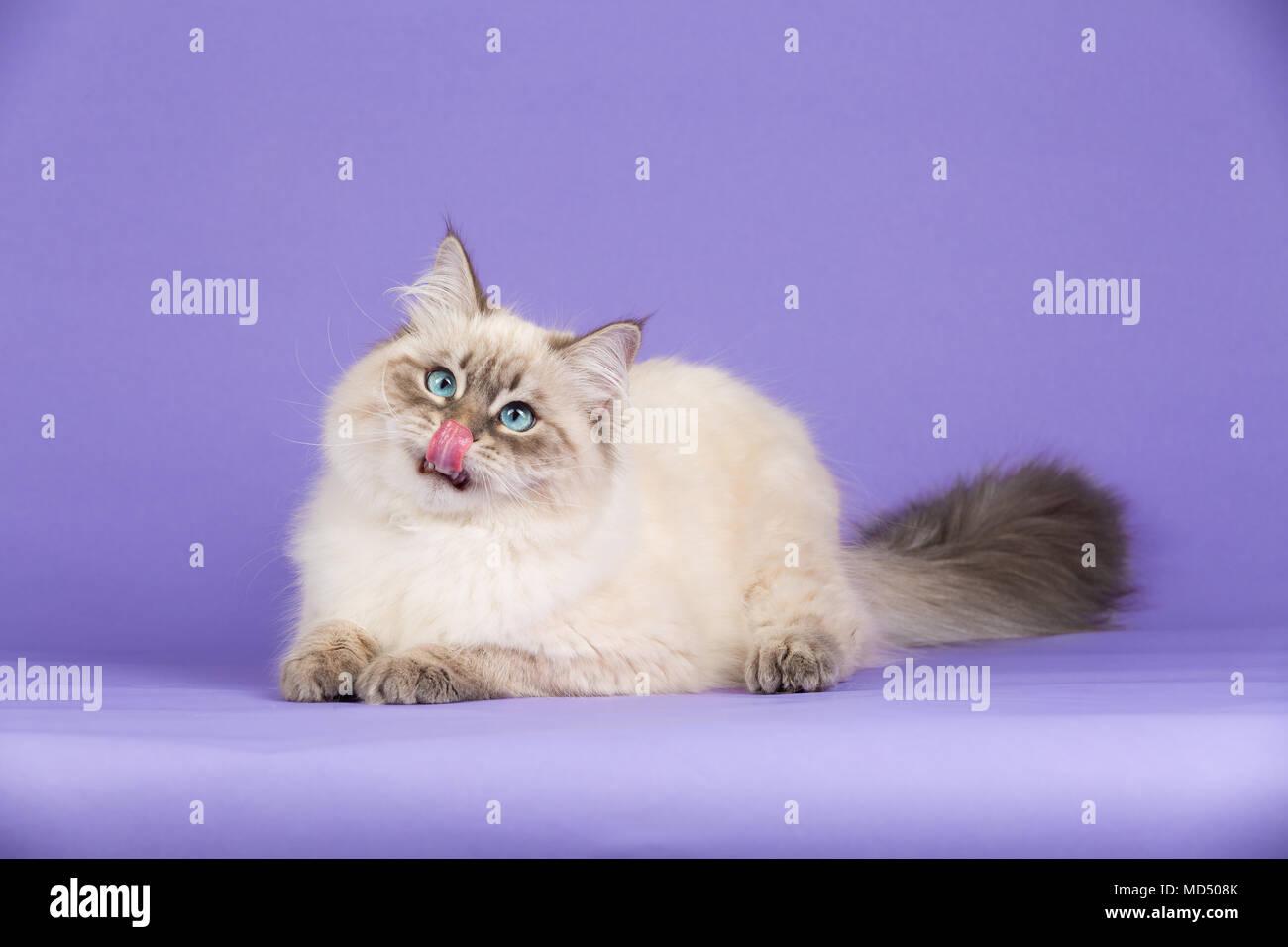 Amazing Siberian cat on purple - Stock Image