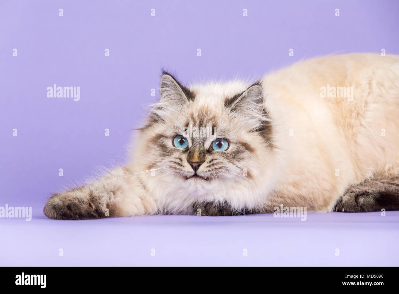 Playful Siberian cat portrait on purple - Stock Image