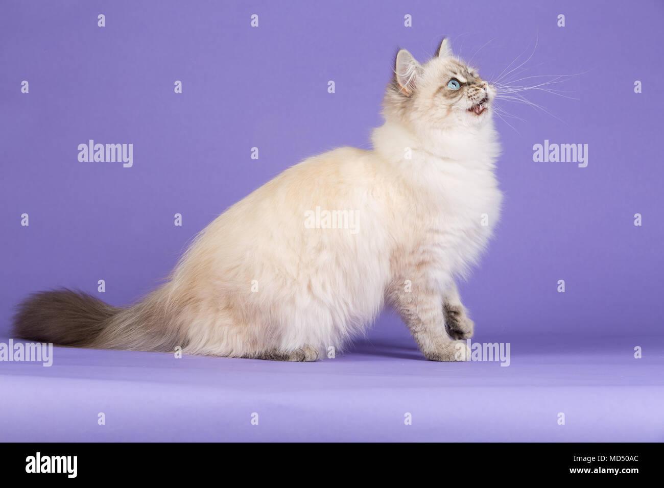 Playful Siberian cat sitting on purple - Stock Image