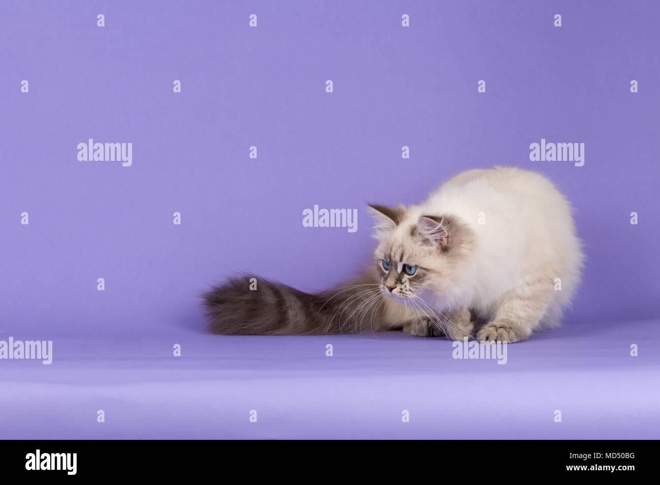 Amazing Siberian cat hunting on purple - Stock Image