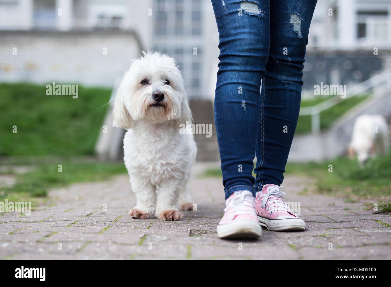 Girl walking with white fluffy dog - Stock Image