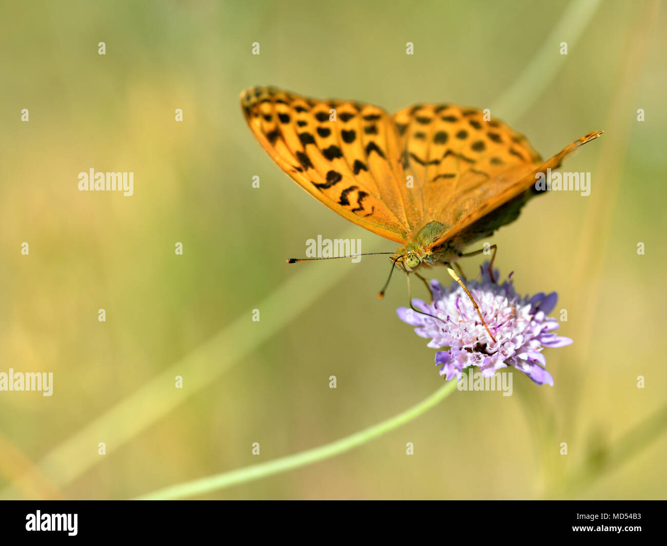 Silver-washed Fritillary butterfly (Argynnis paphia) feeding on scabiosa flower - Stock Image