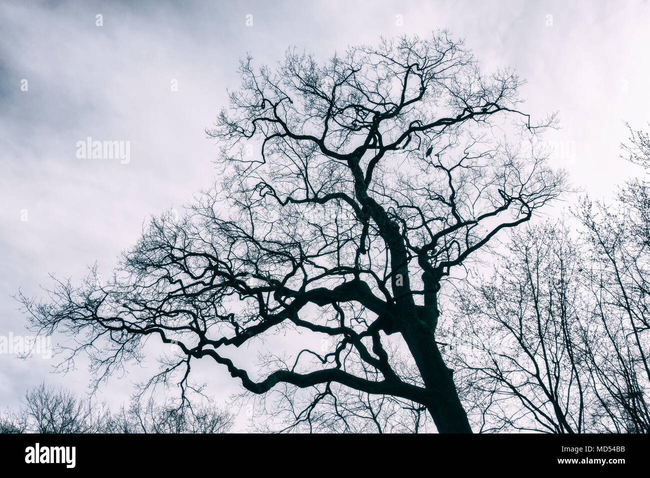 Bare trees in winter - Stock Image