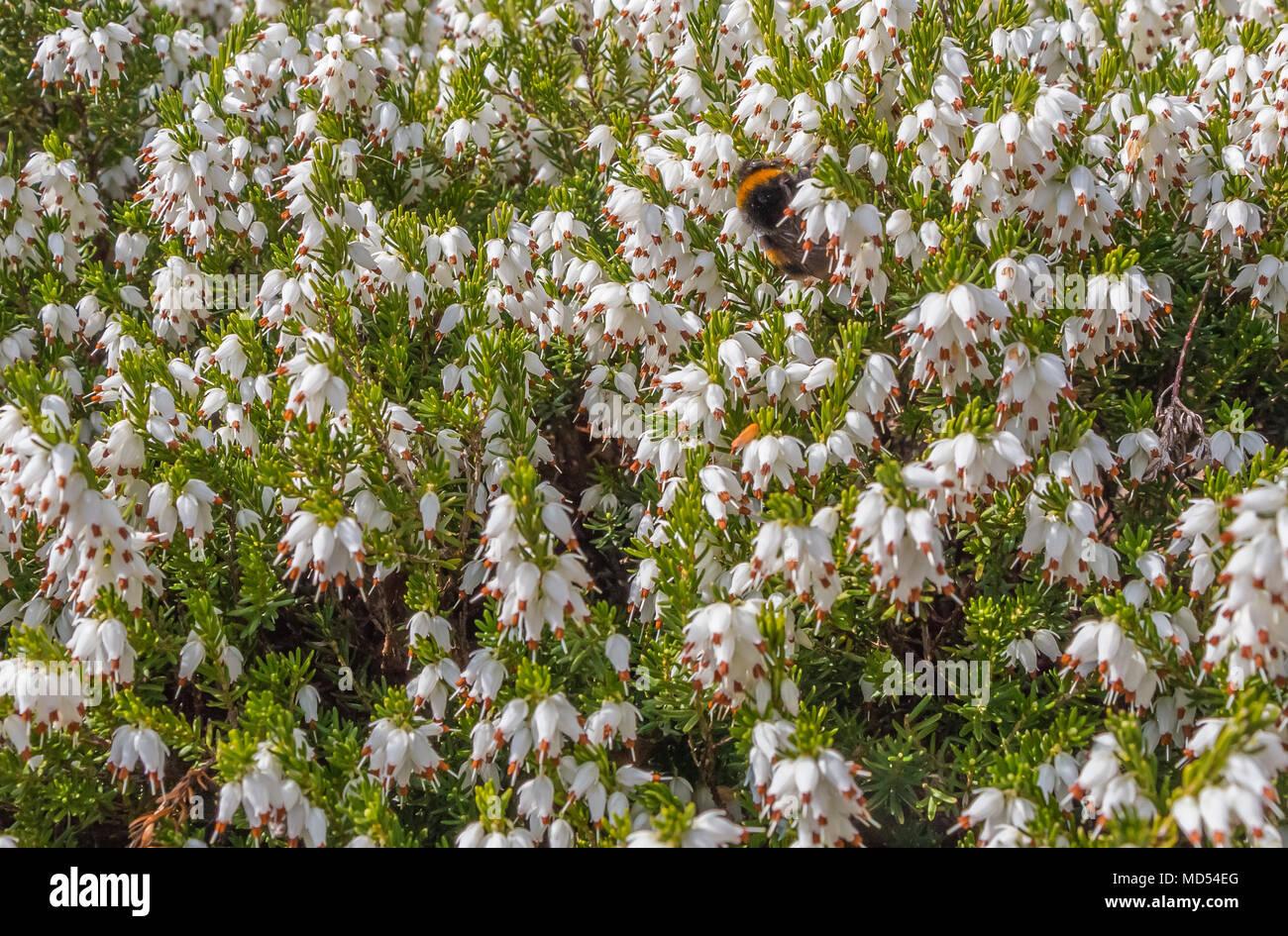 White Winter Flowering Heather Erica Carnea In Sunshine Stock Photo