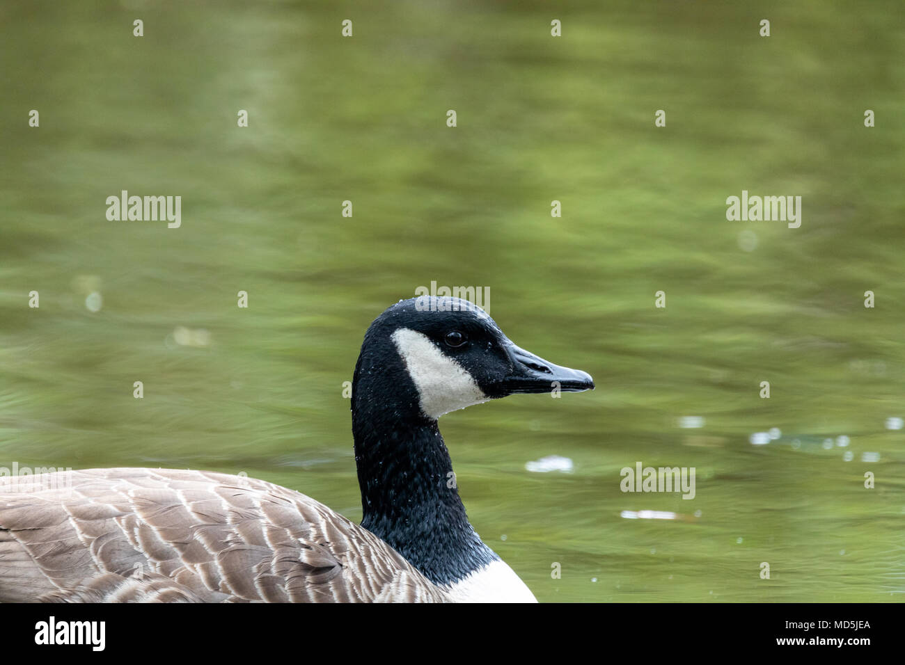 Side portrait of Canada goose (Branta canadensis), in water Stock Photo