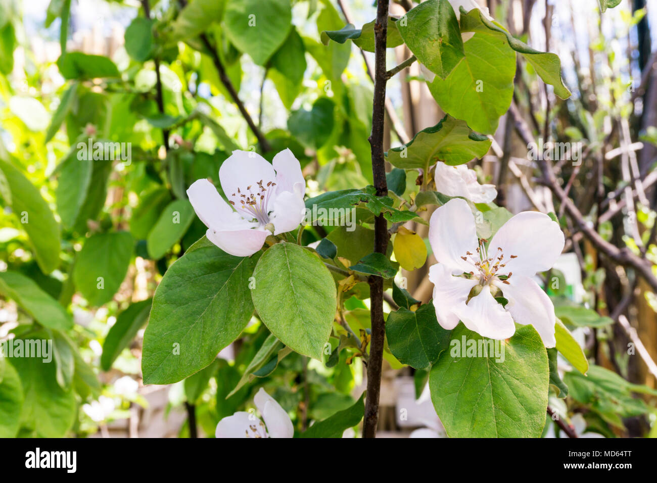 Flowers of the quince tree, Cydonia oblonga 'Champion'. - Stock Image