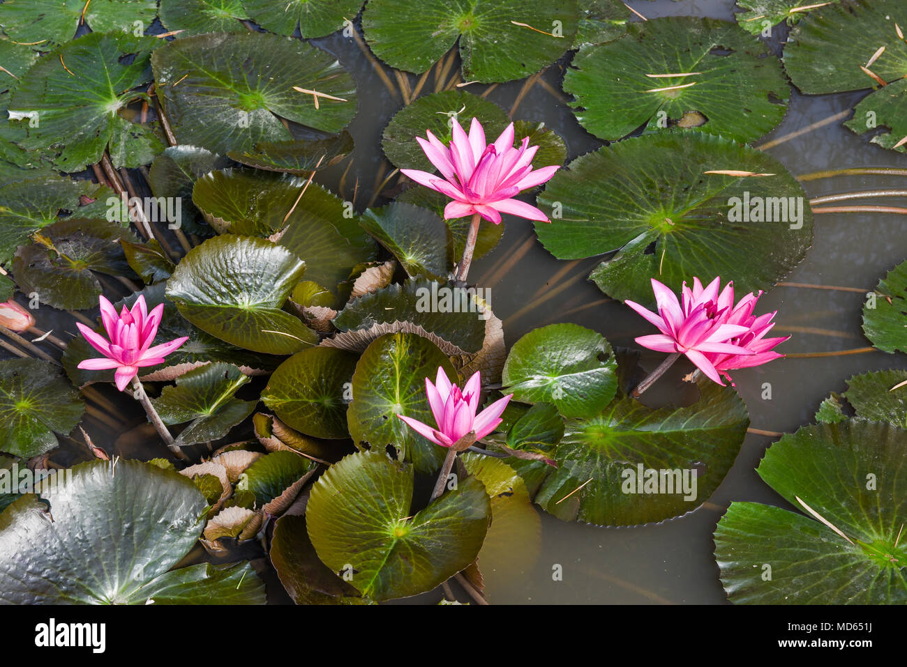 Pink Waterlily Or Lotus Flower In Natural Water Pool Stock Photo