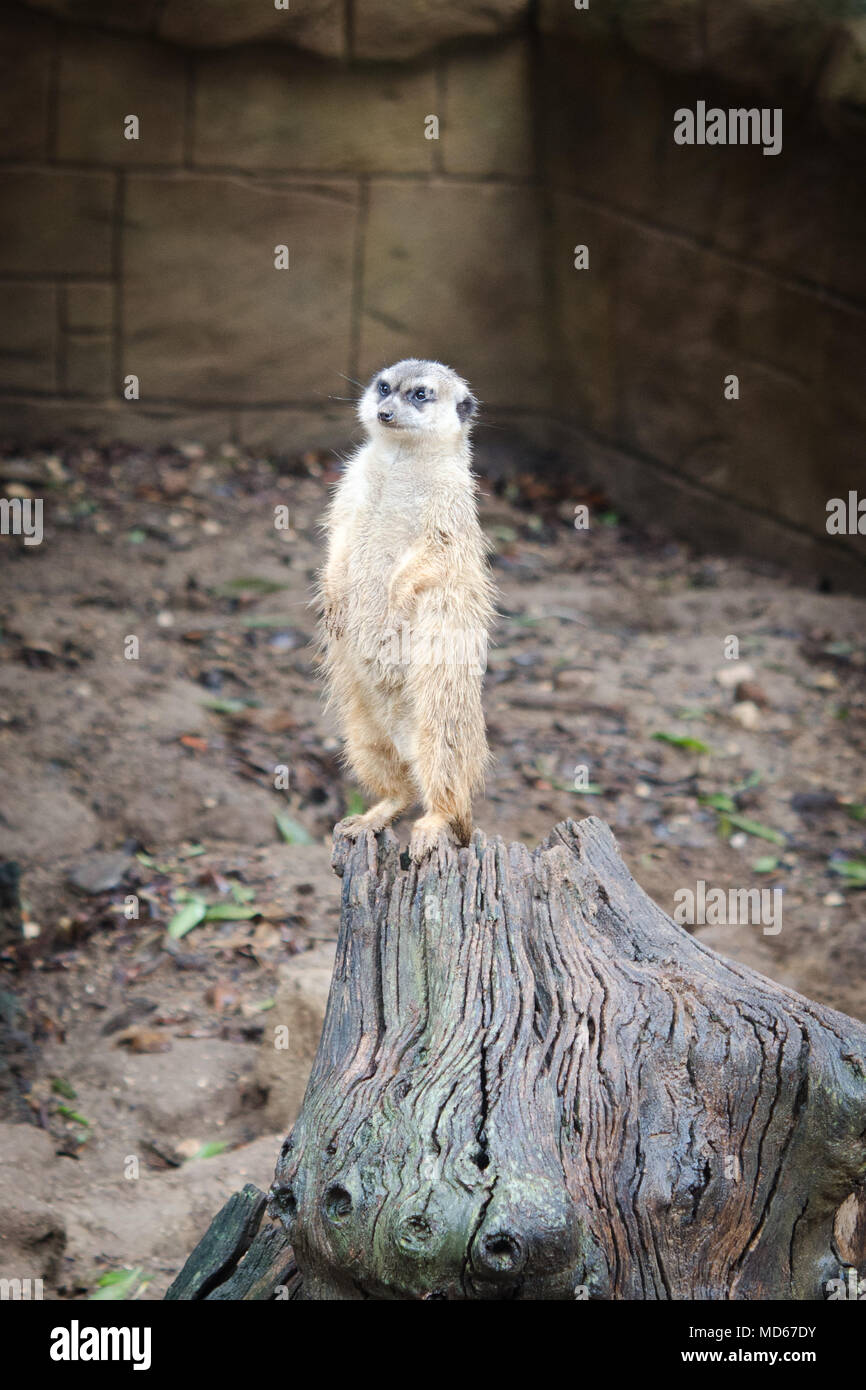 Suricate attention in the zoo - Stock Image