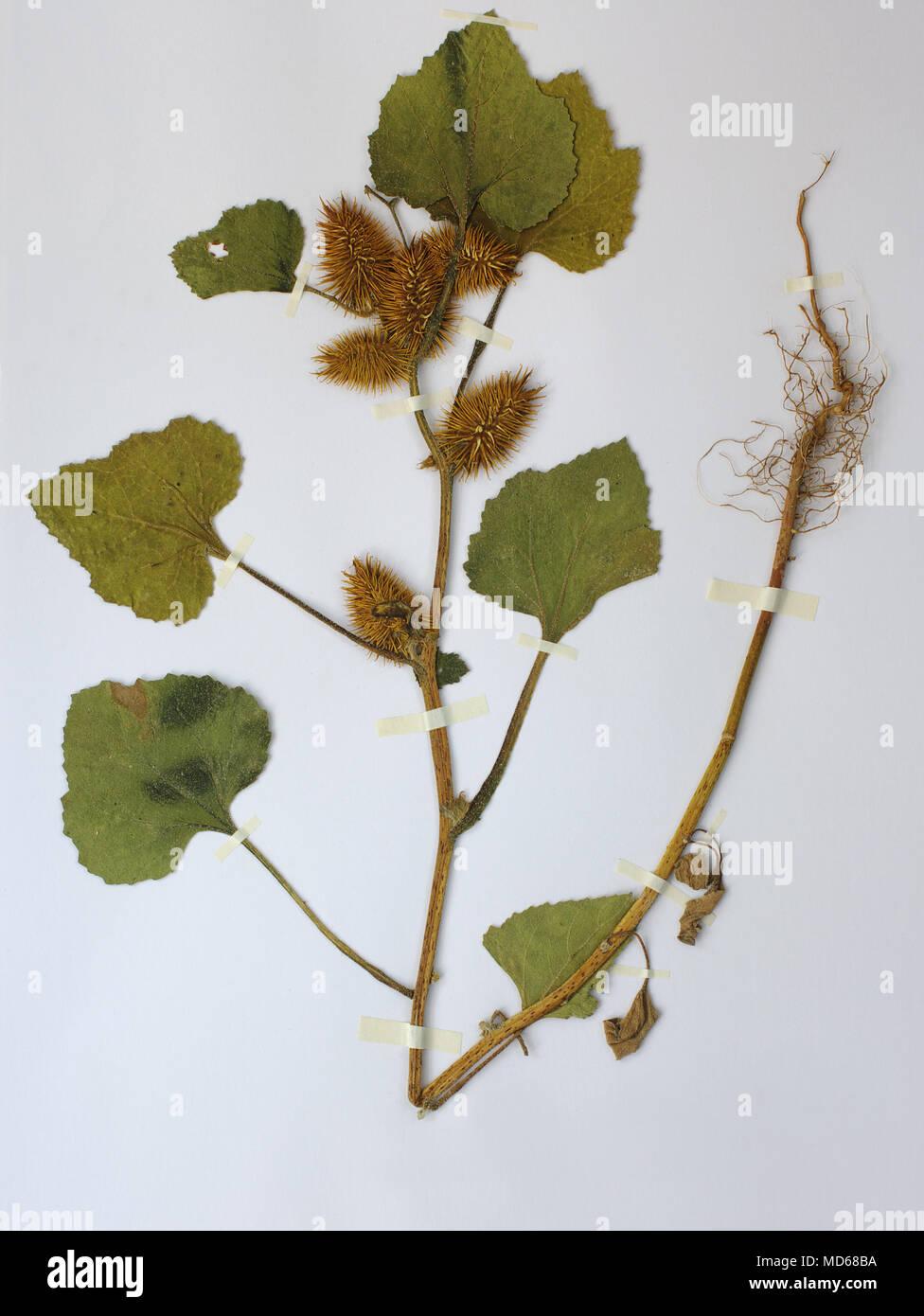Herbarium sheet with Xanthium strumarium, the Large