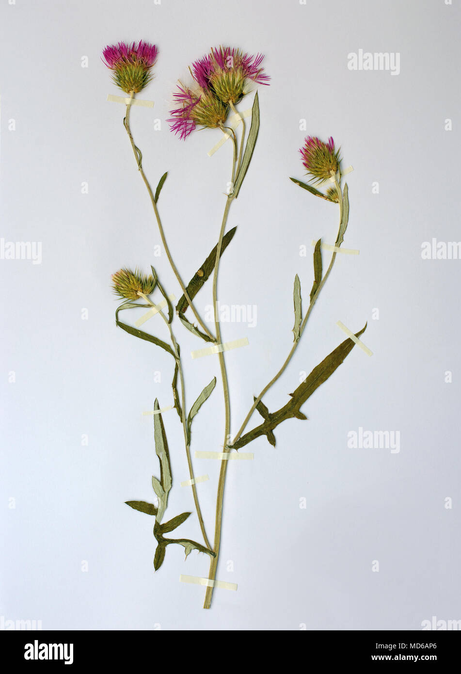 Herbarium sheet with Galactites tomentosa, the Purpure milk thistle or Boar thistle, family Asteraceae (Compositae) - Stock Image