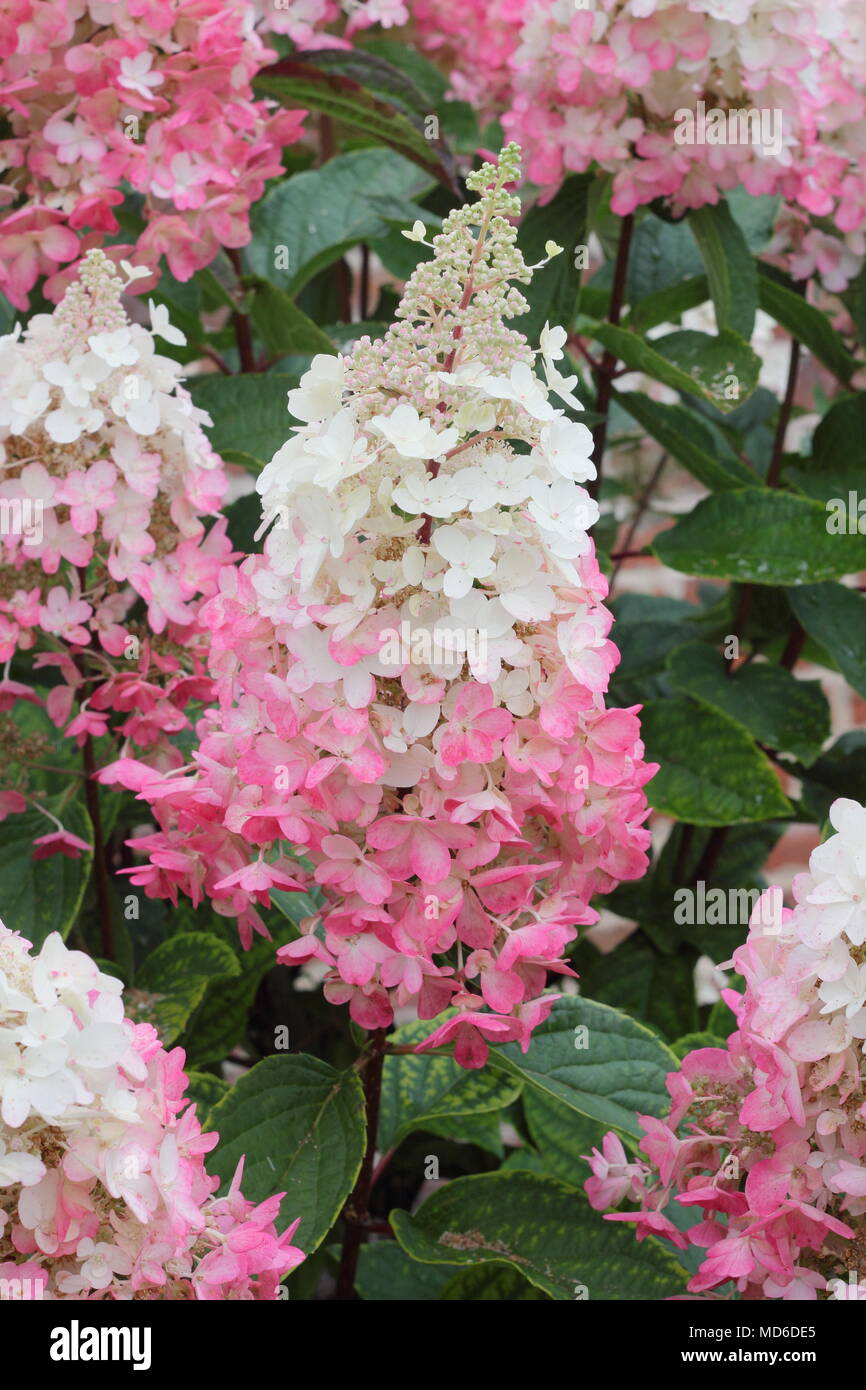 Hydrangea paniculata Pinky Winky' flowers in full bloom in an English garden in late summer, UK - Stock Image