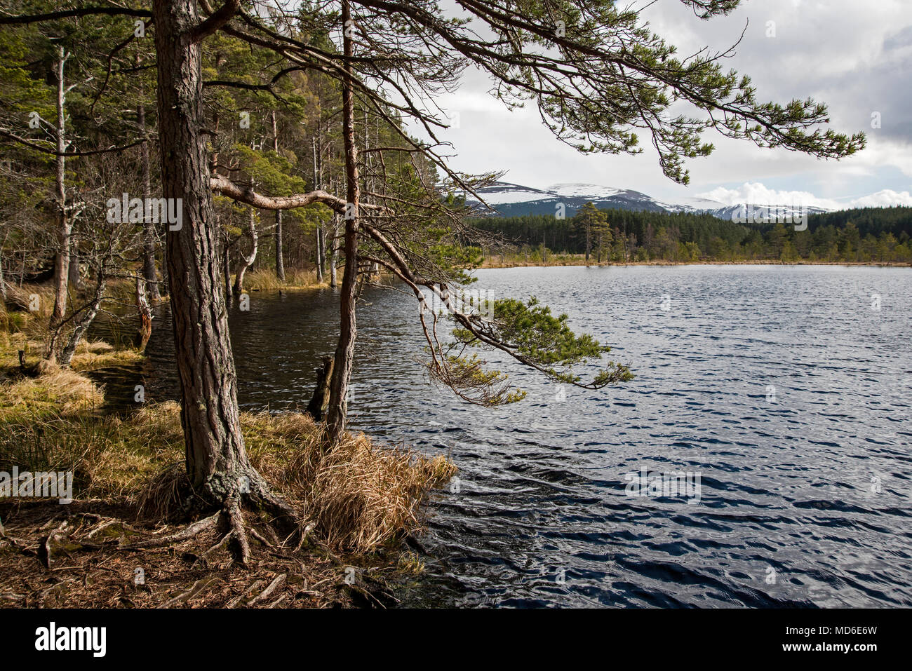 Uath Lochans, Inshriach Forest, Glen Feshie south of Kincraig in Cairngorm National Park. - Stock Image