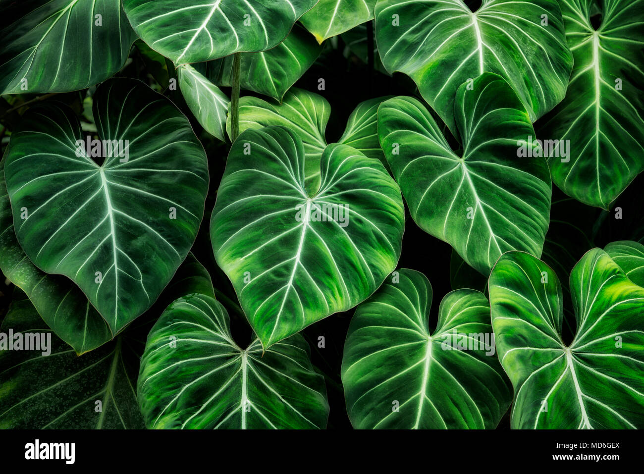 Tropical Leaves High Resolution Stock Photography And Images Alamy Leaves vector tropical leaves vector art vectors plant leaves royalty free stock photos design inspiration illustration creative. https www alamy com tropical leaves princeville botanical gardens kauai hawaii image180238882 html