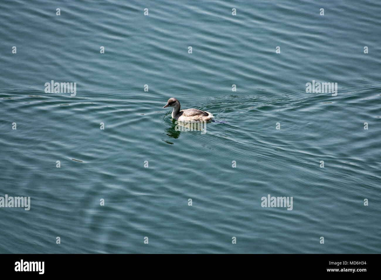 A small duck swimming  & playing in a  water reservoir looking beautiful. Stock Photo