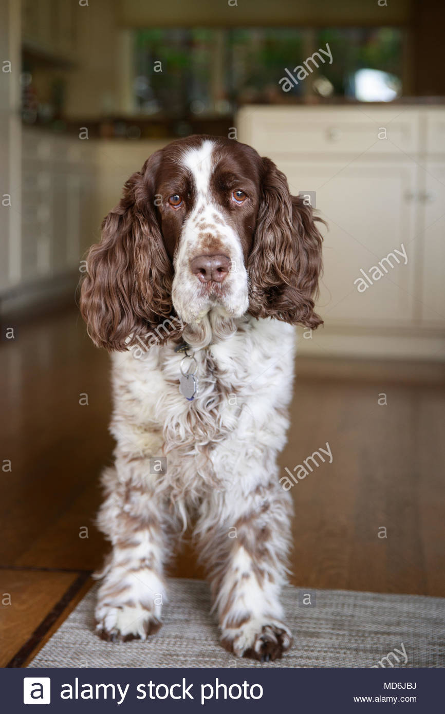 Liver and White Springer Spaniel Standing on Rug in Kitchen - Stock Image