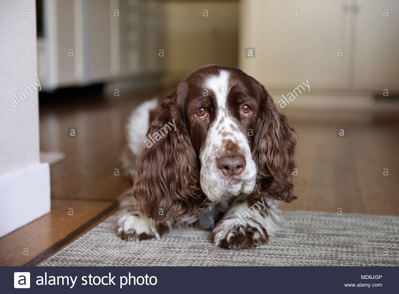 Close-up of liver and white colored springer spaniel lying on kitchen rug with funny worried expression - Stock Image