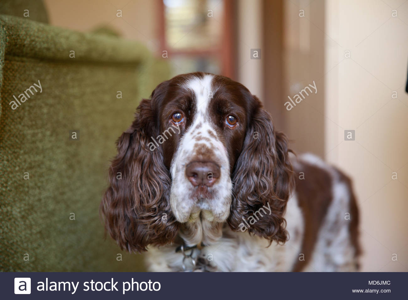 Close-up of Liver and White Springer Spaniel Dog standing next to couch - Stock Image