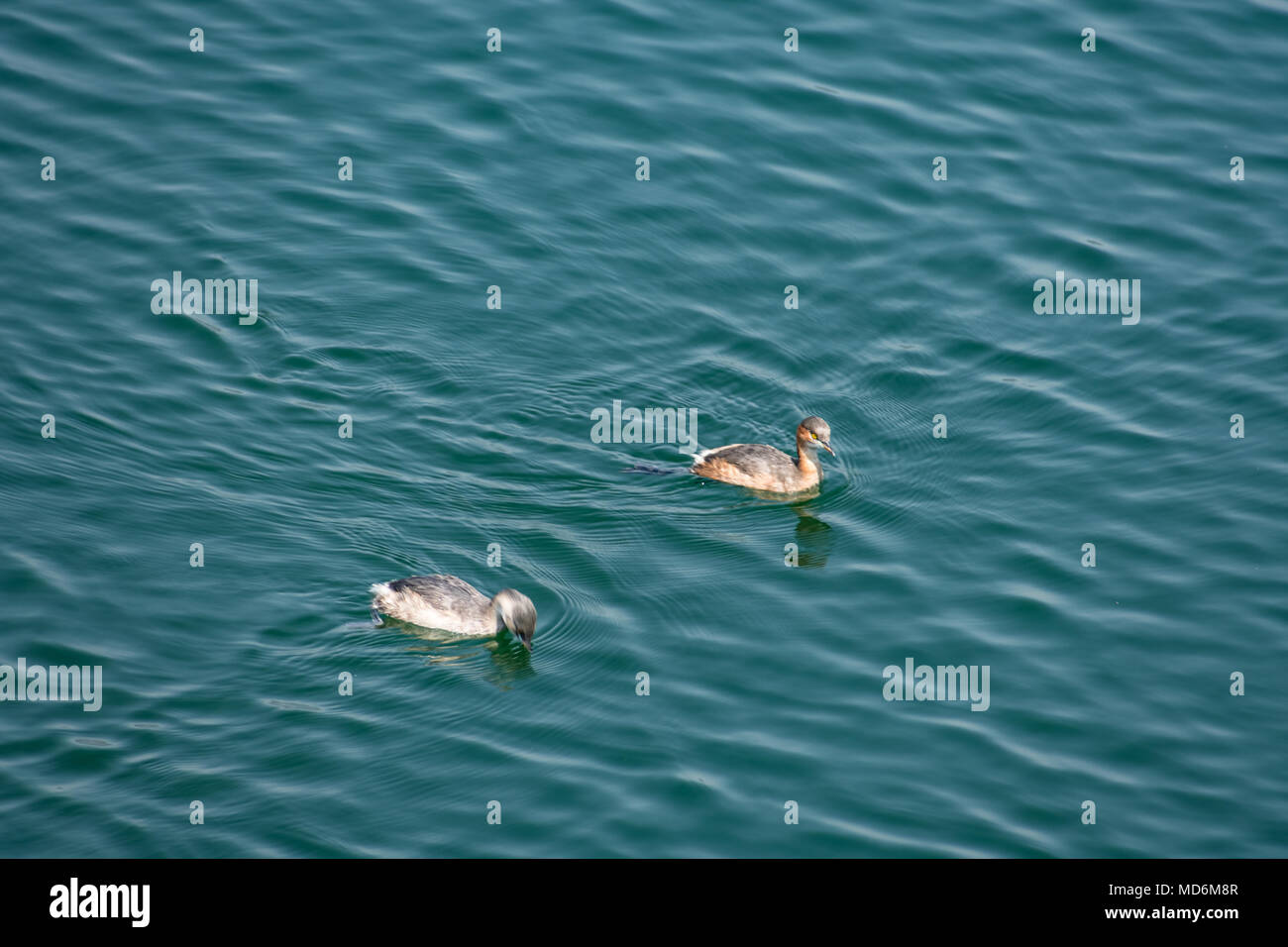 A couple of small duck swimming  & playing in a  water reservoir. Stock Photo