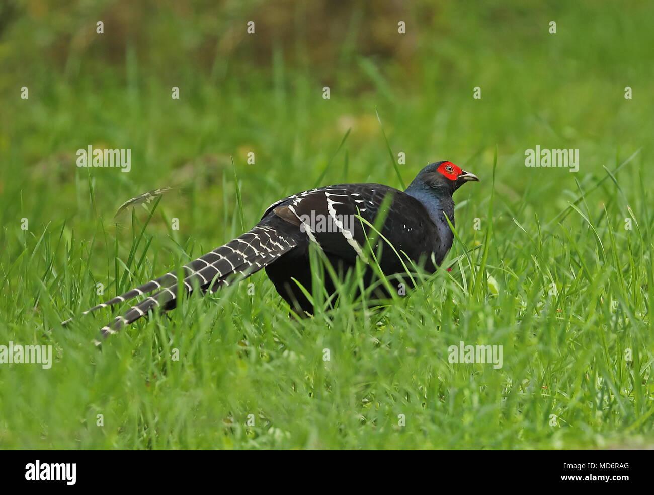 Mikado Pheasant (Syrmaticus mikado) adult male standing on grass  Yushan National Park, Taiwan                 April - Stock Image
