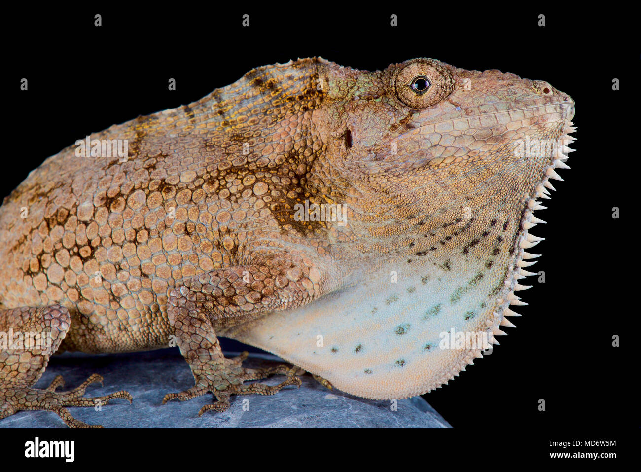 The Cuban giant bearded anole (Anolis barbatus) is a giant, cryptic anolis species endemic to Cuba. These are specialized snail eaters. - Stock Image