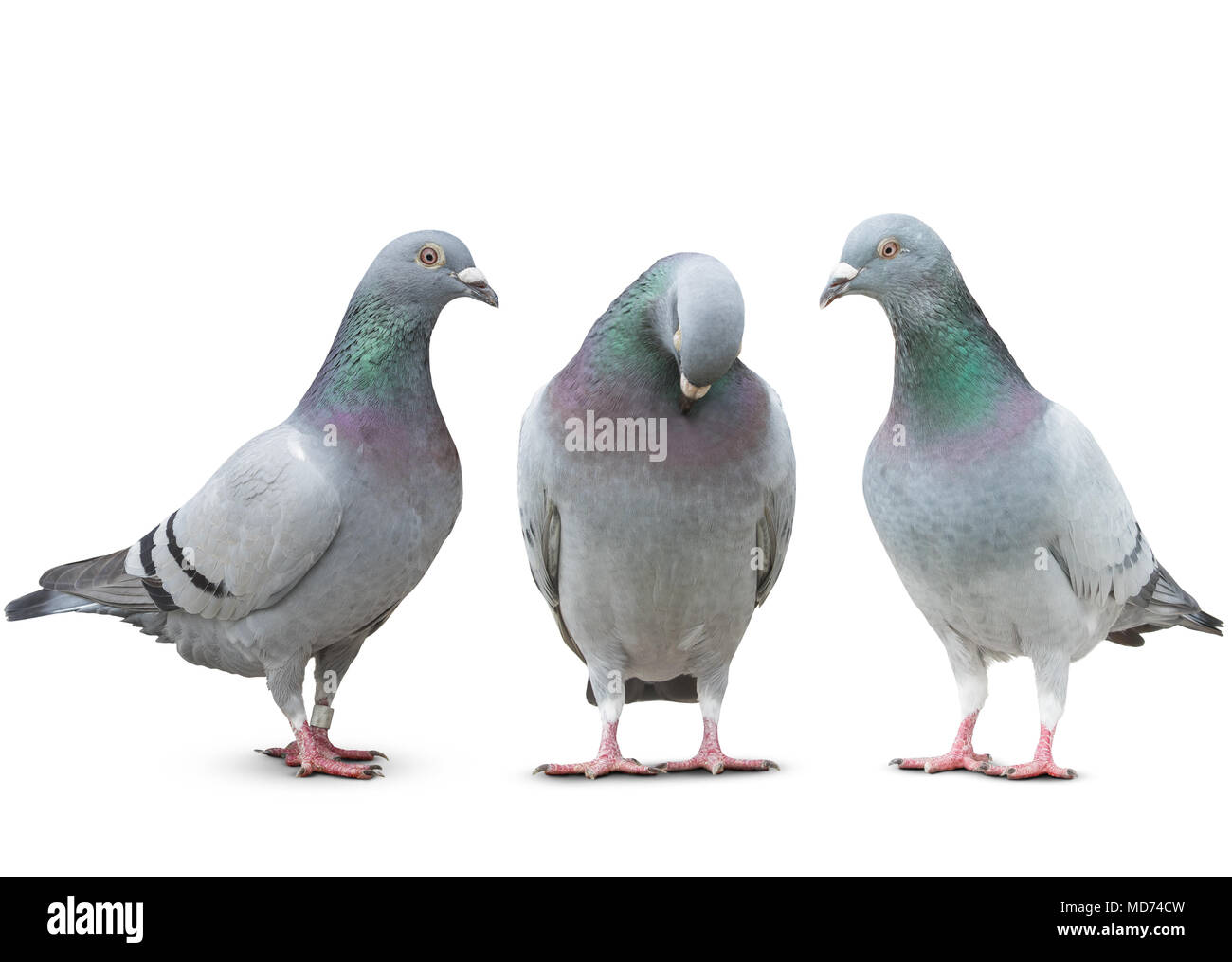 trhee pigeon bird friend sad story on white background - Stock Image