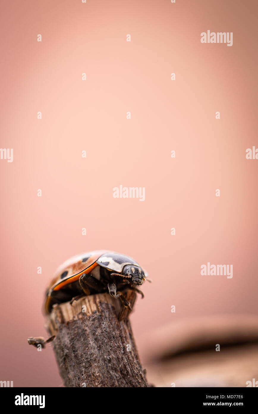 Vertical photo with single orange ladybug. The insect has few black dots and black had with white spots. Ladybug is on piece of very old and worn piec Stock Photo