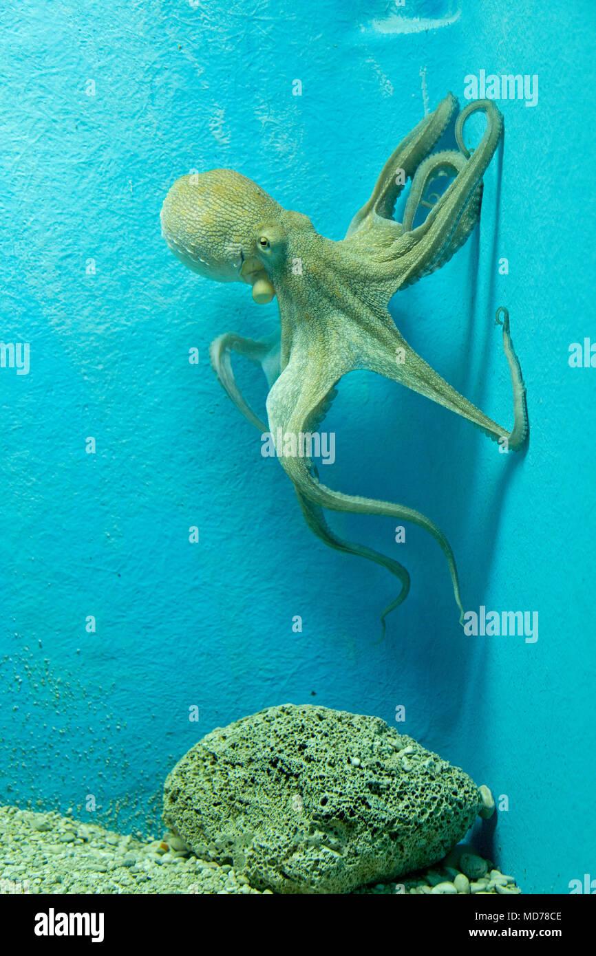 octopus (Octopus vulgaris), aquarium, old town, Dubrovnik, Croatia - Stock Image