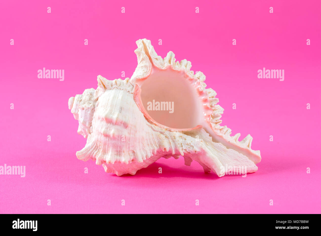Big Sea Shell isolated on pink background in studio Stock Photo