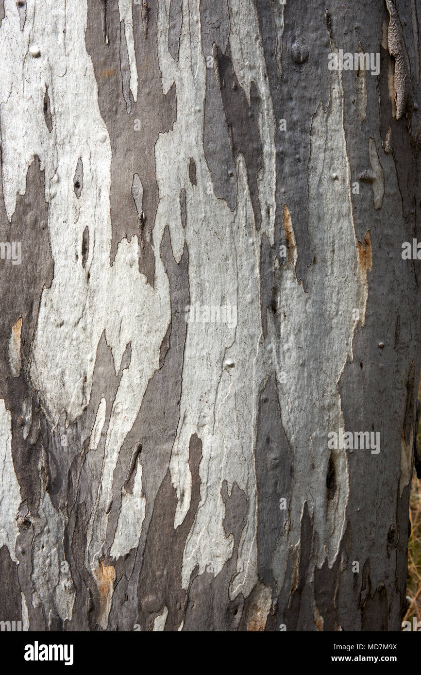 Strong pattern of bark on the trunk of Eucalyptus tree in Alpiine National Park. - Stock Image